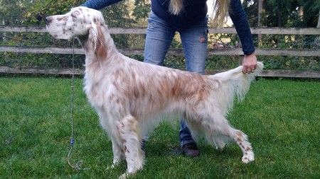 Show Dogs Setter Ridge Kennels Dogs Horses Animals