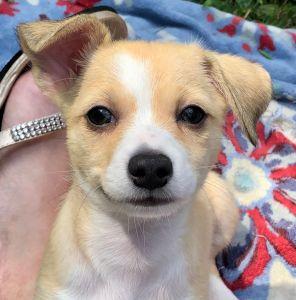 Adopt Hawk On Chihuahua Terrier Chihuahua Terrier Mix Chihuahua