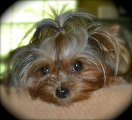 Yorkshire Terrier Puppies Yorkis For Sale Teacup Yorkies For