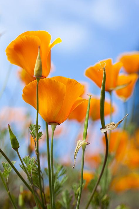 California Poppies In The Gardens Photograph by Taylor S. Kennedy