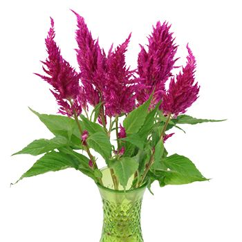 Crushed Berry Feather Celosia Flower Fiftyflowers Com Celosia Flower Late Summer Flowers Veronica White Flower