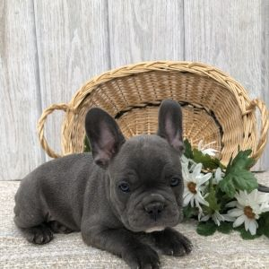 Romeo Ray French Bulldog Puppy Puppyspot French Bulldog Dogs