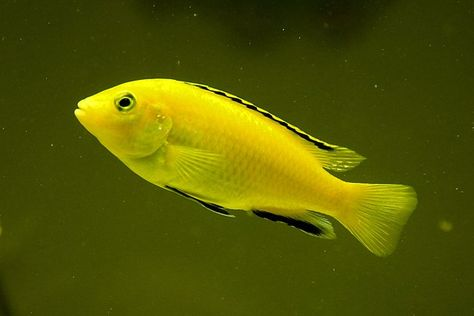 Electric Yellow Cichlid Tropical Fish Pet Cichlid Tropical Fish Aquarium Fish Aquarium Fish