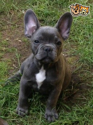 Blue French Bulldog puppies (females) for sale!