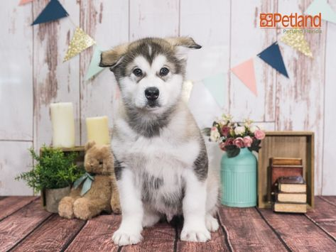 Puppies For Sale Alaskan Malamute Puppies Malamute Puppies Puppies