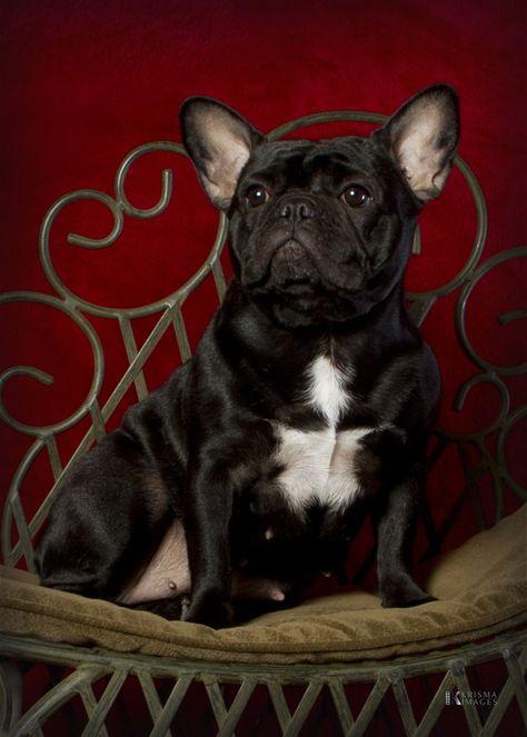 French Bulldog For Sale Columbus Ohio : french, bulldog, columbus, Daystar, Frenchies