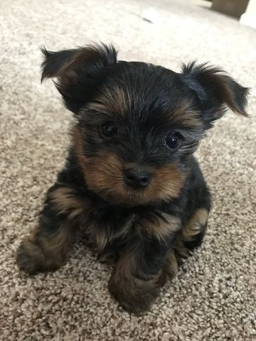 Yorkshire Terrier Puppy For Sale In Middletown Ct Adn 71654 On Puppyfinder Com Gender Female Age On Yorkshire Terrier Puppies Yorkie Terrier Yorkie Puppy