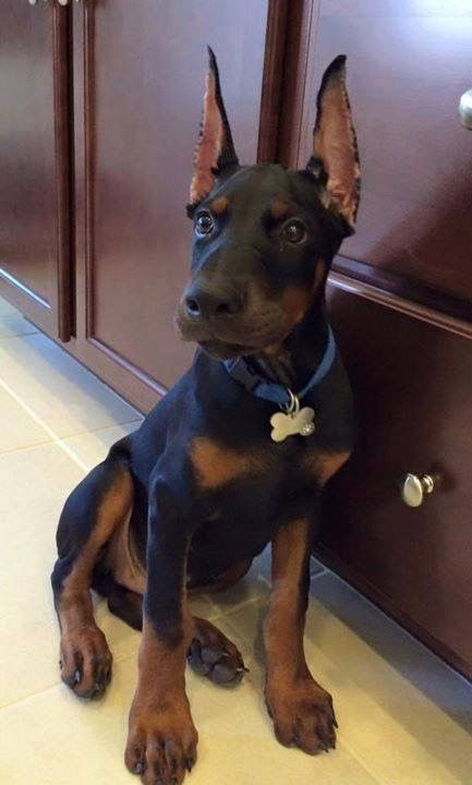 This Puppy Is Simply Adorable We Love Dobermans