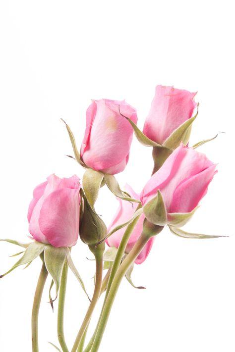 Hot Pink Roses | Light Hot Pink Spray Roses - Twinkle Bride | Flower Muse