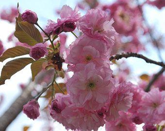 10 Mandarin Orange Tree Seeds Citrus Reticulata Blanco Etsy Japanese Cherry Tree Japanese Cherry Blossom Cherry Blossom Tree