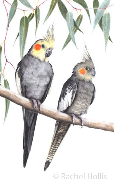 Cockatiel Print watercolour cockatiel painting australian birds cockatoo art