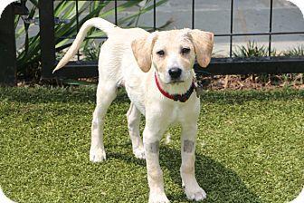 Norwalk Ct Schnauzer Standard Labrador Retriever Mix Meet