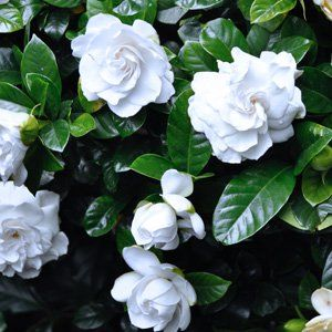 Gardenia augusta 'Florida' Gardenia Florida is an outstanding evergreen shrub with extremely fragrant double white blooms with glossy green foliage. An idea