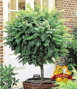 Kugel Akazie 1 Pflanze Pflanzen Gartenschilder Und Gartenkugeln