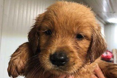 Matt Snyder Elijah Creek Farm Has Golden Retriever Puppies For