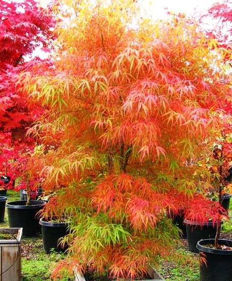 """Acer Palmatum """"Koto no Ito"""" or harpstring maple. Container specimen, grows to roughly 12 feet in height and width. Green in Spring/Summer. Brilliant orange in Autumn. Strapleaf."""