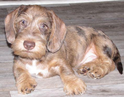 Mini dachshund for sale #dog #Labrador #Retriever