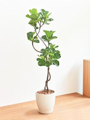 カシワバゴムの木 Tree Tree おしゃれな観葉植物 通販 Interior Plants Shop カシワバゴム 観葉植物 花の植え付け