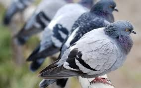 Looking for #pigeon #repellent in #India – mainly at