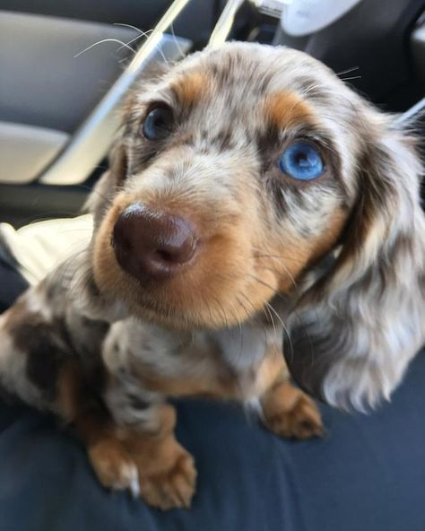 Puppies — Hi! Any chance I could get some dauchsund puppies? Cute Dogs And Puppies, Baby Dogs, Pet Dogs, Pets, Chihuahua Dogs, Doggies, Puppies Puppies, Dapple Dachshund Puppy, Long Haired Dachshund