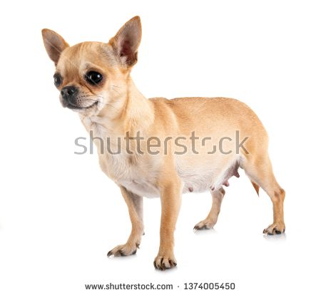 Stock Photo Pregnant Chihuahua In Front Of White Background
