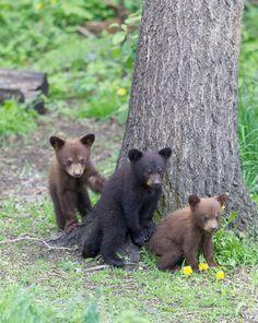 Three black bear cubs at Cades Cove