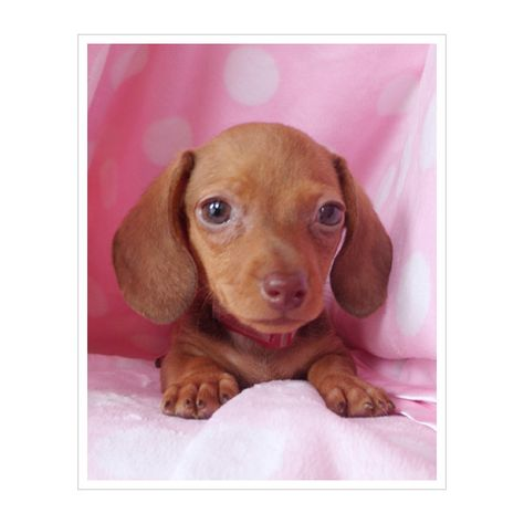 Miniature Dachshund Adorable Dachshund Puppies For Sale