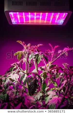 Ripe Tomato Plant Under Led Grow Light In 2019 Growing