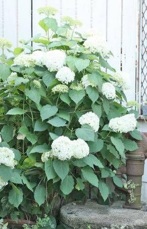 紫陽花アナベルをお庭で育てて ドライをいっぱい作ってみませんか 前編 庭 お庭 アナベル