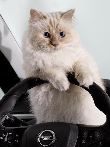 Karl Lagerfeld Seine Katze Choupette Wird Jetzt Model Karl Lagerfeld Choupette Karl Lagerfeld Katzen