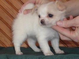 Precious Angels South Africa Chihuahua Chihuahua Puppies