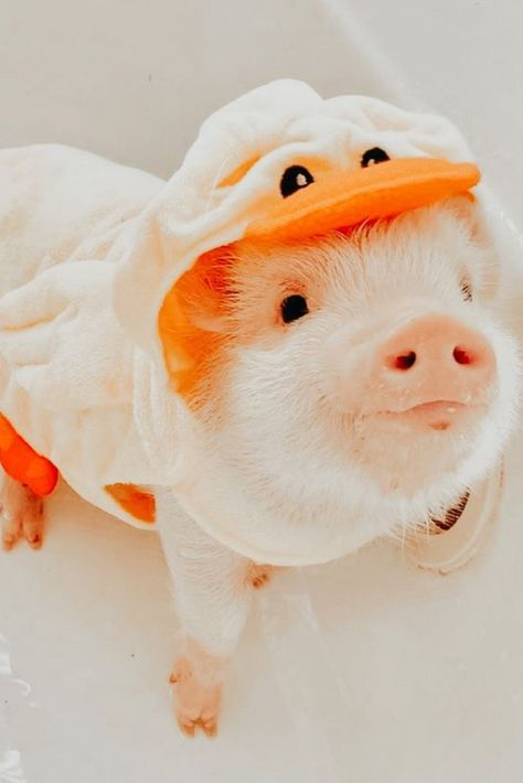 Cute Baby Pigs, Baby Animals Super Cute, Cute Little Animals, Cute Funny Animals, Baby Animals Pictures, Cute Animal Photos, Funny Animal Pictures, Cute Dogs And Puppies, Super Cute Puppies