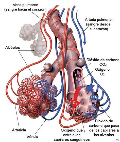 11 Ideas De Sistema Respiratorio Sistema Respiratorio Respiratorio Fisiología