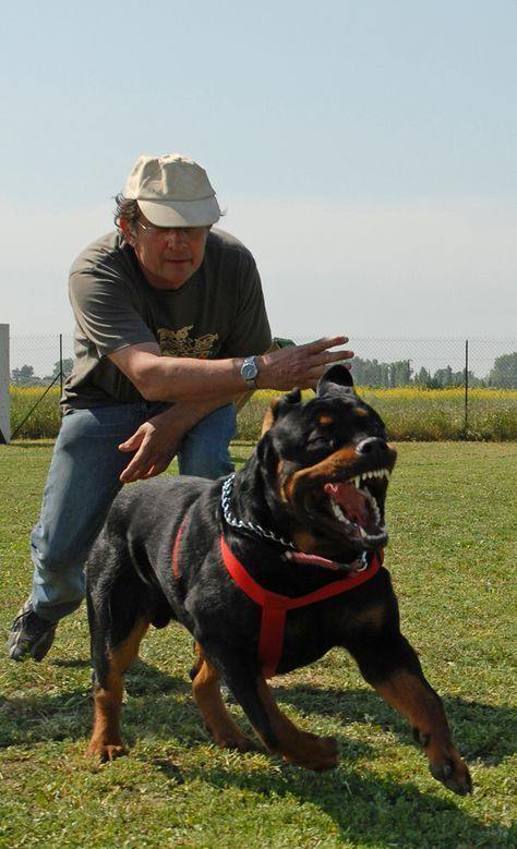 Rottweilers As Gentle Giants And Family Watchdogs Guard Dog
