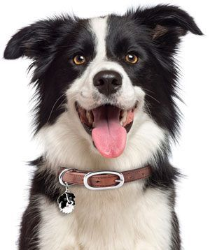 What Is The Best Dog Food For Border Collies Border Collie