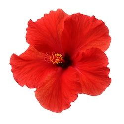 Stock Image Food And Drink In 2020 Hibiscus Flowers Flowers Hibiscus