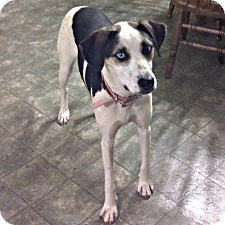 Nashua Nh Husky Coonhound Mix Meet Brigit A Dog For Adoption Http Www Adoptapet Com Pet 14247554 Nashua New H The Shelter Pet Project Dog Adoption Dogs