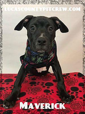 Toledo Oh Labrador Retriever Meet Maverick A Dog For Adoption Dog Adoption Labrador Retriever Dogs