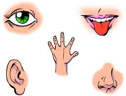 Sentidos Del Ser Humano Vista Oido Olfato Gusto Tacto Intuicion Telepatico Equilibrio Cinestesico Termico Nocion Ecolocaliz Los Cinco Sentidos Sentidos Ninos
