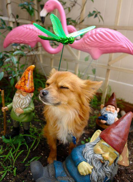 gnome puppy