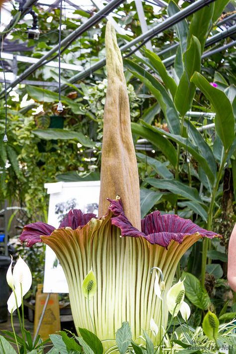 Smelly Corpse Flower Blooms Today For First Time In 11 Years Corpse Flower Corpse Flower Bloom Flowers