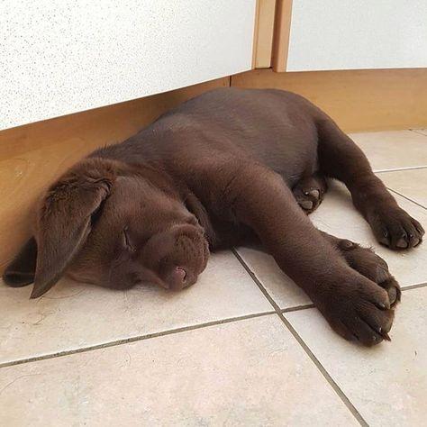 get Labrador stikers Chocolate Lab Puppies, Chocolate Labrador Retriever, Chocolate Labs, Retriever Puppies, Cute Funny Animals, Cute Baby Animals, Animals And Pets, Super Cute Puppies, Cute Dogs And Puppies