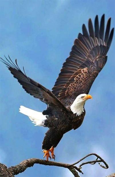Eagle Talon Bird : eagle, talon, Eagles, Meme,, #eagle, Talon,, Tattoo,, Patriotic, Eagles,, Philidelphia, Mascot,, Quotes,, Americ…, Eagle,, Eagle, Pictures,, Beautiful, Birds