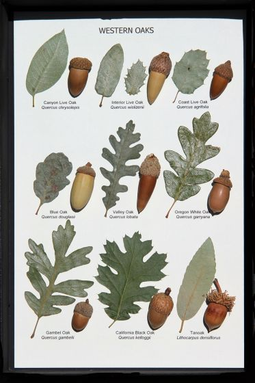 Oak Leaf and Acorn Display (Western Oaks)