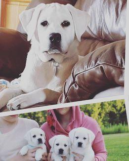White Loyal Labradors Lab Puppies White Lab Puppies White