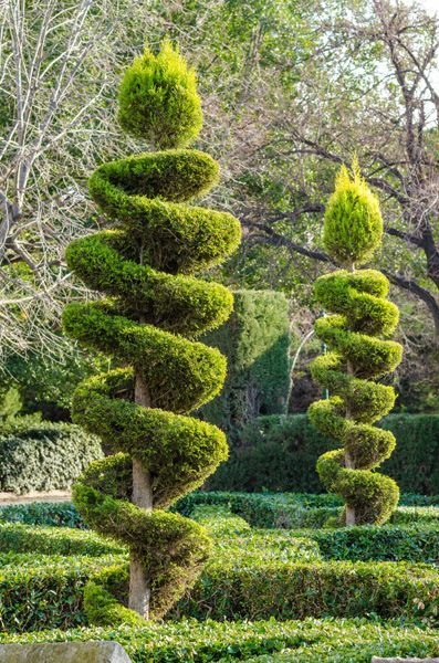Landscaping Tip How To Trim A Topiary Tree Into A Spiral Leaf