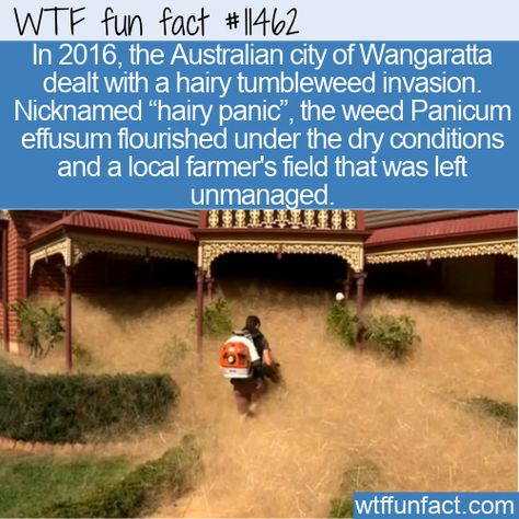 WTF Facts : funny, interesting  weird facts WTF Fun Fact - Hairy Panic In Oz #wtf #funfact #wtffunfact 11462 #australia #funnyfacts #hairypanic #Nature #panicumeffusum #randomfact #randomfacts #randomfunnyfact #Wangaratta #wtffunfact