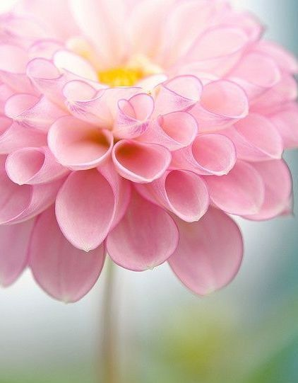 Close Up Of Pink Dahlia Giving Thanks To God Flowers Plant Cuttings