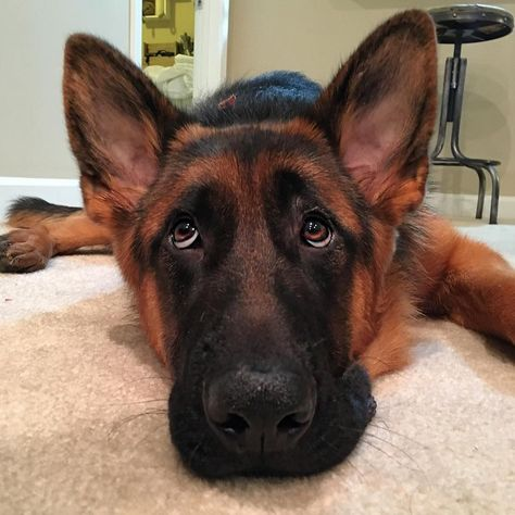 He's watching me eat some chips  repost:  @riggs_thegsd       #ilovemydog #instacute #puppiesforall #dogstagram #puppiesofinstagram #dogsofinstagram #dogsofinstaworld #ruffpost #retrieversgram #retrieveroftheday #dailybarker #yeshuffpost #cutepuppyclips #gloriouspaws #pawsomeretrievers #ChocolateLabradorDogs #ChocolateLabs #furriends #assistancedog #interventionk9 #facilitydog #courthousedog #workingdog #labrador #labradorretriever #blacklab #talesofalab #k9police #sardog