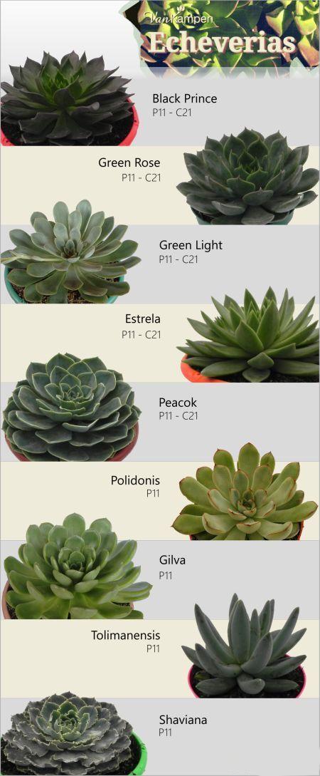 310 Ideas De Echeveria En 2021 Suculentas Cactus Y Suculentas Plantas Suculentas